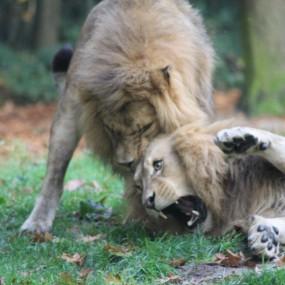 vechtende-leeuwen